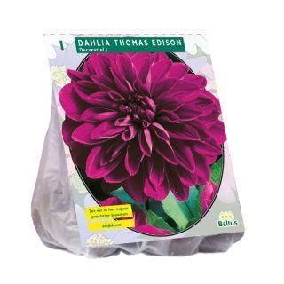 Dahlia Thomas Edison (paarse decoratief-bloemige dahlia)