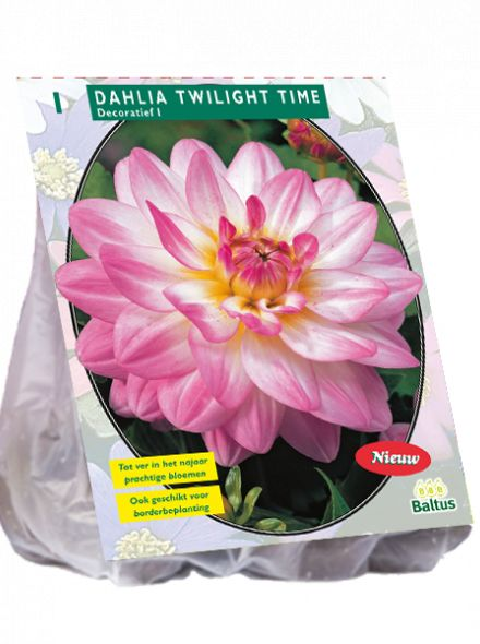 Dahlia Twilight Time (wit roze decoratief-bloemige dahlia)