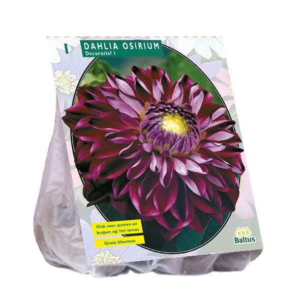 Dahlia Osirium (paarsrode decoratief-bloemige dahlia)