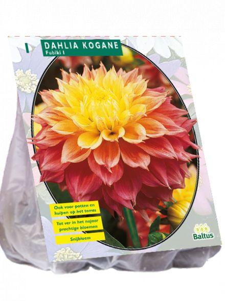 Dahlia Fubuki Kogane (oranje rode decoratief-bloemige dahlia, geel hart)
