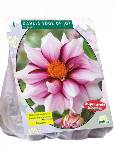 Dahlia Edge of joy (roze mignondahlia met pruperrode randen)