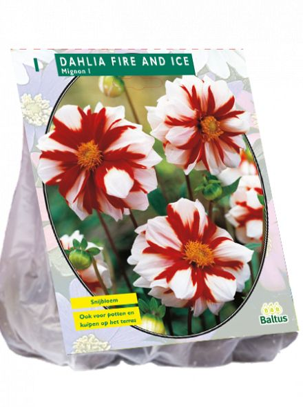Dahlia Fire & Ice (witte mignondahlia met rode vlammen)