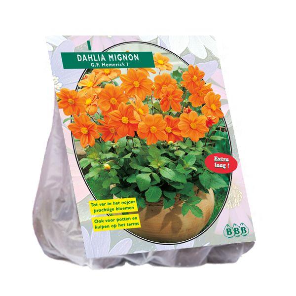 Dahlia G.F. Hemerick (oranje mignondahlia)