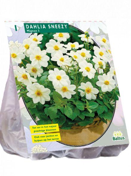 Dahlia Sneezy (witte mignondahlia)