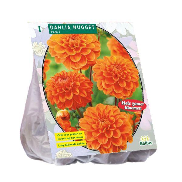 Dahlia Nugget (oranje park-, perkdahlia)