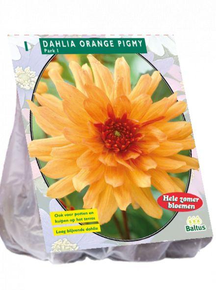 Dahlia Orange Pigmy (park-, perkdahlia)