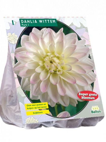 Dahlia Park Wittem (wit roze park-, perkdahlia)