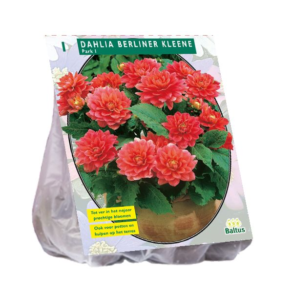 Dahlia Berliner Kleene (roze, zalmroze park-, perkdahlia)