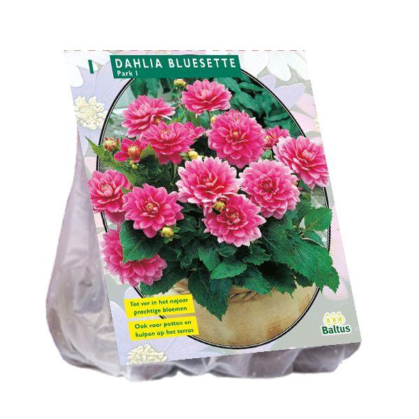 Dahlia Bluesette (roze park-, perkdahlia)