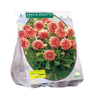 Dahlia Musette (rode park-, perkdahlia met witte toppen)