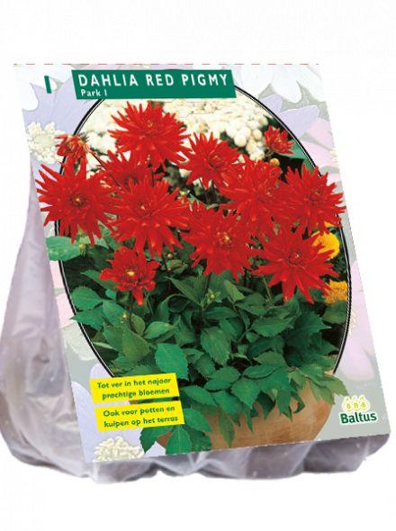 Dahlia Red Pigmy (rode park-, perkdahlia)