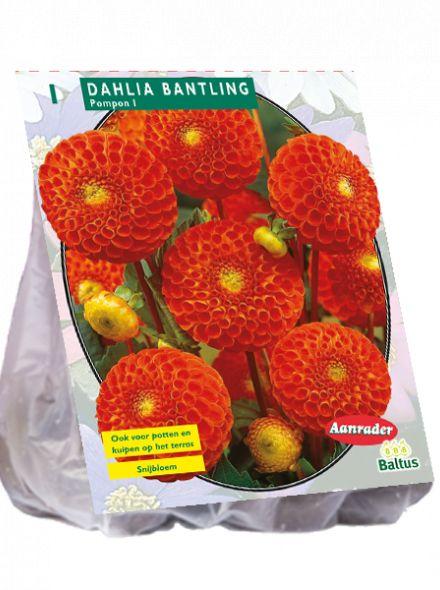 Dahlia Bantling (pompondahlia)