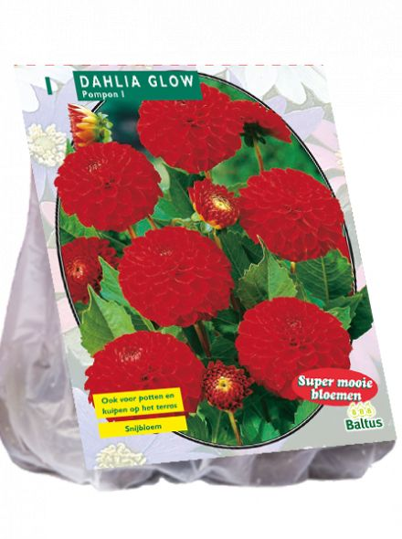Dahlia Glow (pompondahlia)