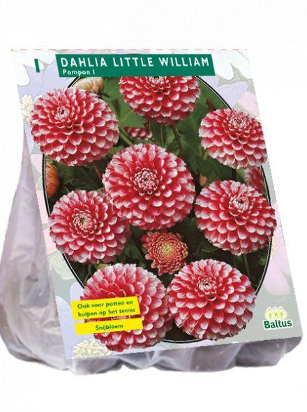 Dahlia Little William (pompondahlia)