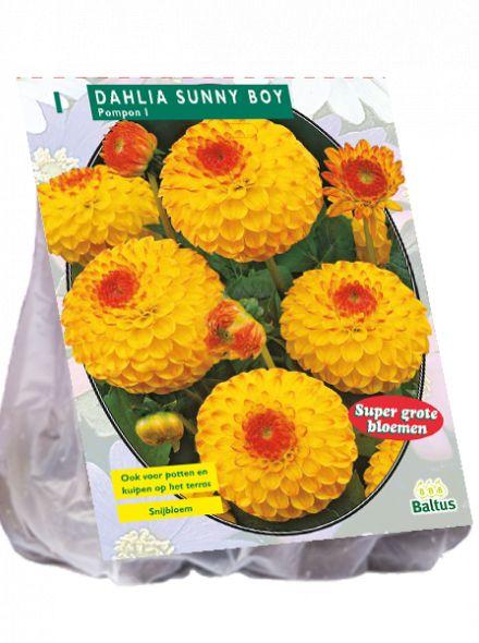 Dahlia Sunny Boy (pompondahlia)