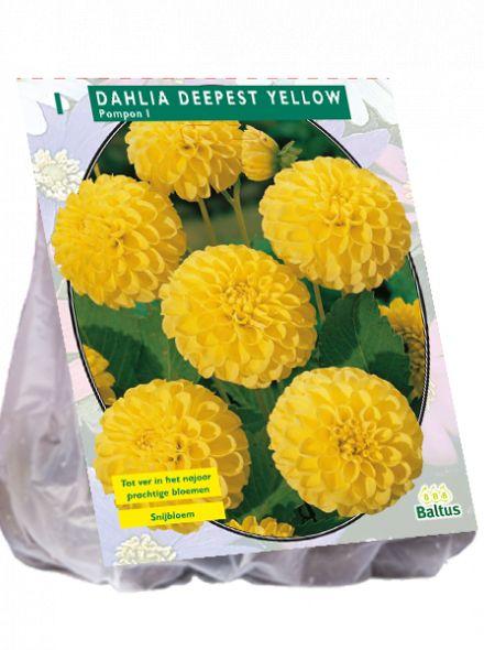Dahlia Deepest Yellow (pompondahlia)