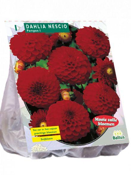 Dahlia Nescio (pompondahlia)
