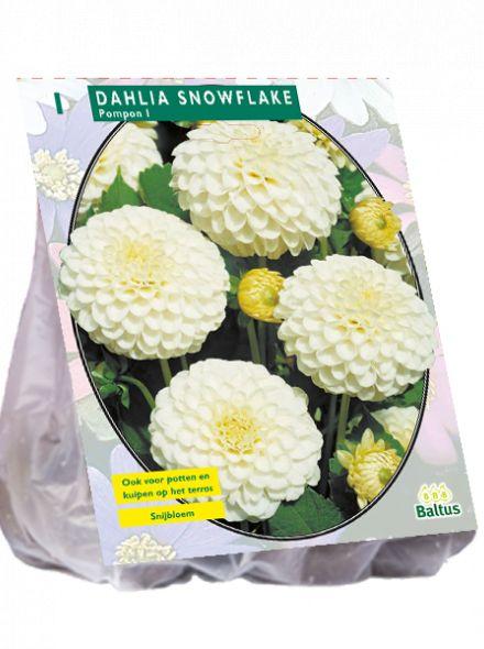 Dahlia Snowflake (pompondahlia)