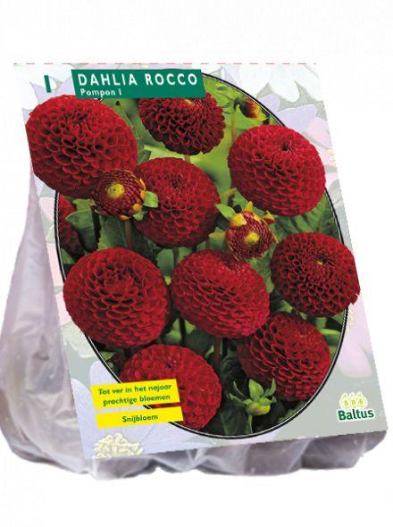 Dahlia Rocco (pompondahlia)