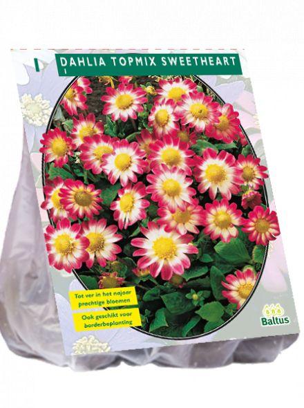 Dahlia Sweetheart (rood met witte topmix dahlia, geel hart)