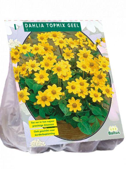 Dahlia Geel (topmix dahlia)