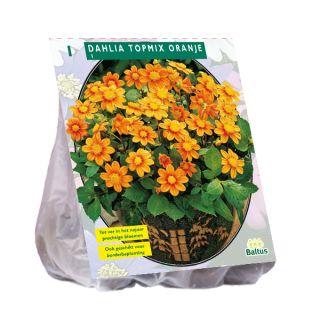Dahlia Oranje (topmix dahlia)