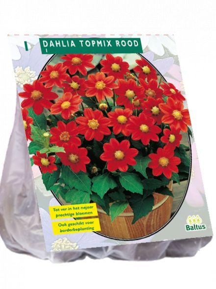 Dahlia Rood (topmix dahlia)