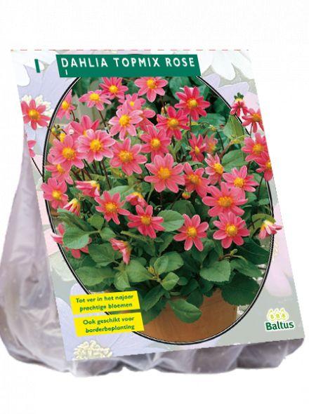 Dahlia Roze (topmix dahlia)