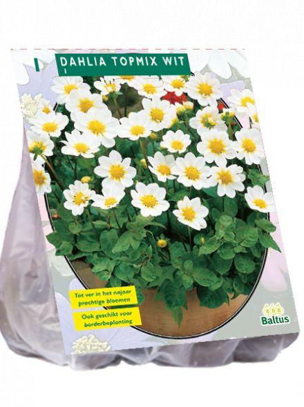 Dahlia Wit (topmix dahlia)
