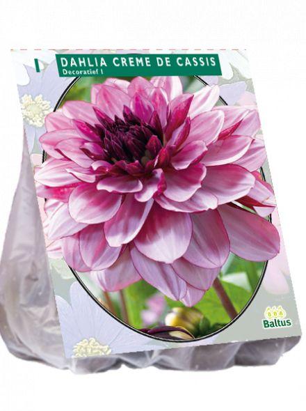 Dahlia Creme de Cassis (lila roze, cassiskleurige decoratief-bloemige dahlia)