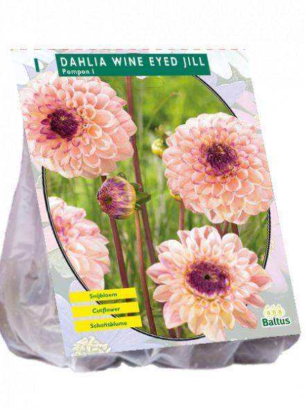 Dahlia Wine Eyed Jill (pompondahlia)