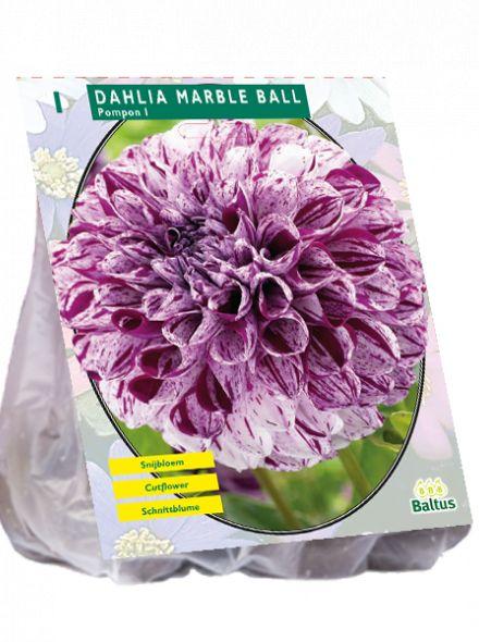 Dahlia Marble Ball (pompondahlia)