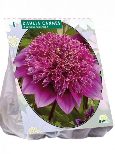 Dahlia Cannes (paarse anemoon dahlia)