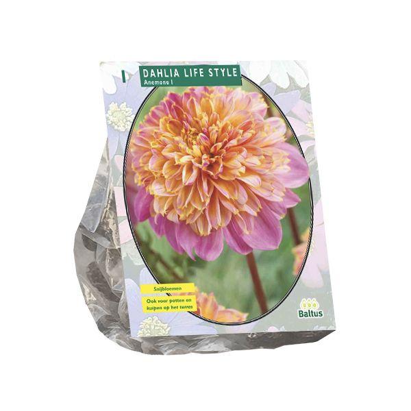 Dahlia Lifestyle (lila met gele anemoon dahlia)