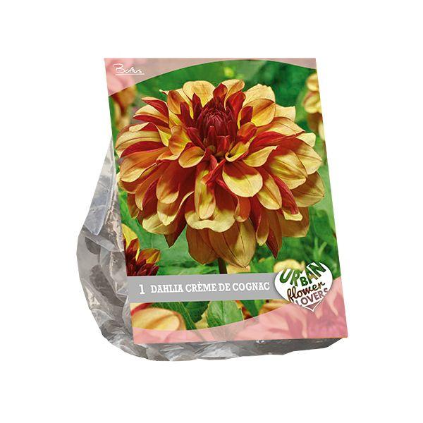 Dahlia Crème de Cognac (Cognackleurige dahlia, Urban Flowers serie)