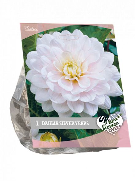 Dahlia Silver Years (wit roze, Urban Flowers serie)