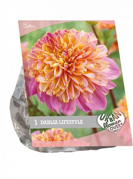 Dahlia Lifestyle (lila met geel, Urban Flowers serie)