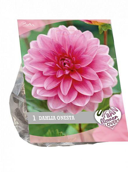 Dahlia Onesta (roze waterlelie Dahlia, Urban Flowers serie)