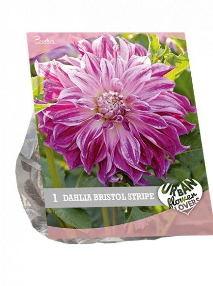 Dahlia Bristol stripe (wit - lilaroze, Urban Flowers serie)