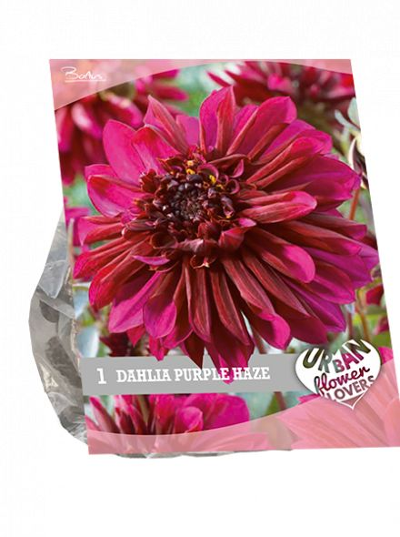 Dahlia Purple Haze (paarsrood, Urban Flowers serie)