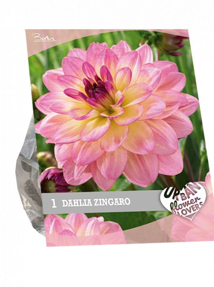 Dahlia Zingaro (lila geel, Urban Flowers serie)