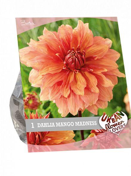 Dahlia Mango Madness (oranje, mago kleurig, Urban Flowers serie)