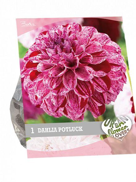 Dahlia Potluck (lila, roze, purperrood, Urban Flowers serie)