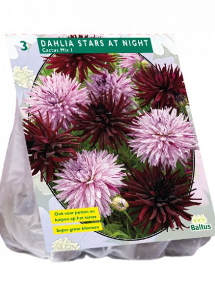 Dahlia Stars at Night mix (Cactusdahlia)