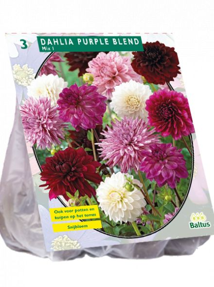 Dahlia Purple Blend mix