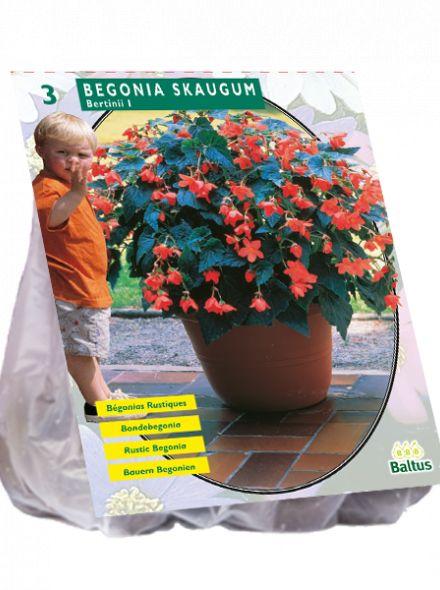 Begonia Bertinii Skaugum (Boerenhangbegonia)