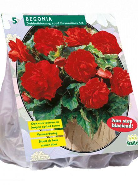 Begonia Dubbel, Rood (knolbegonia)