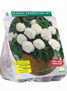 Begonia Dubbel, Wit (knolbegonia)