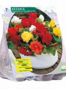 Begonia Dubbel, Mix (knolbegonia)