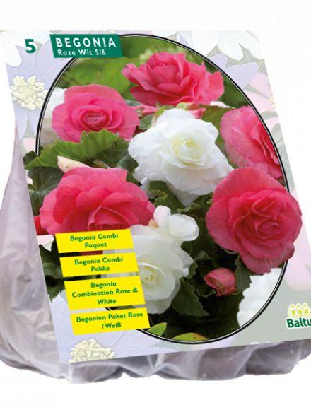 Begonia Dubbel Duo, Roze/Wit (knolbegonia)